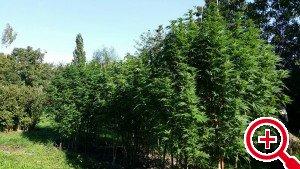 De 'hennepbomen' in Stolwijk. (Foto: politie Krimpenerwaard)
