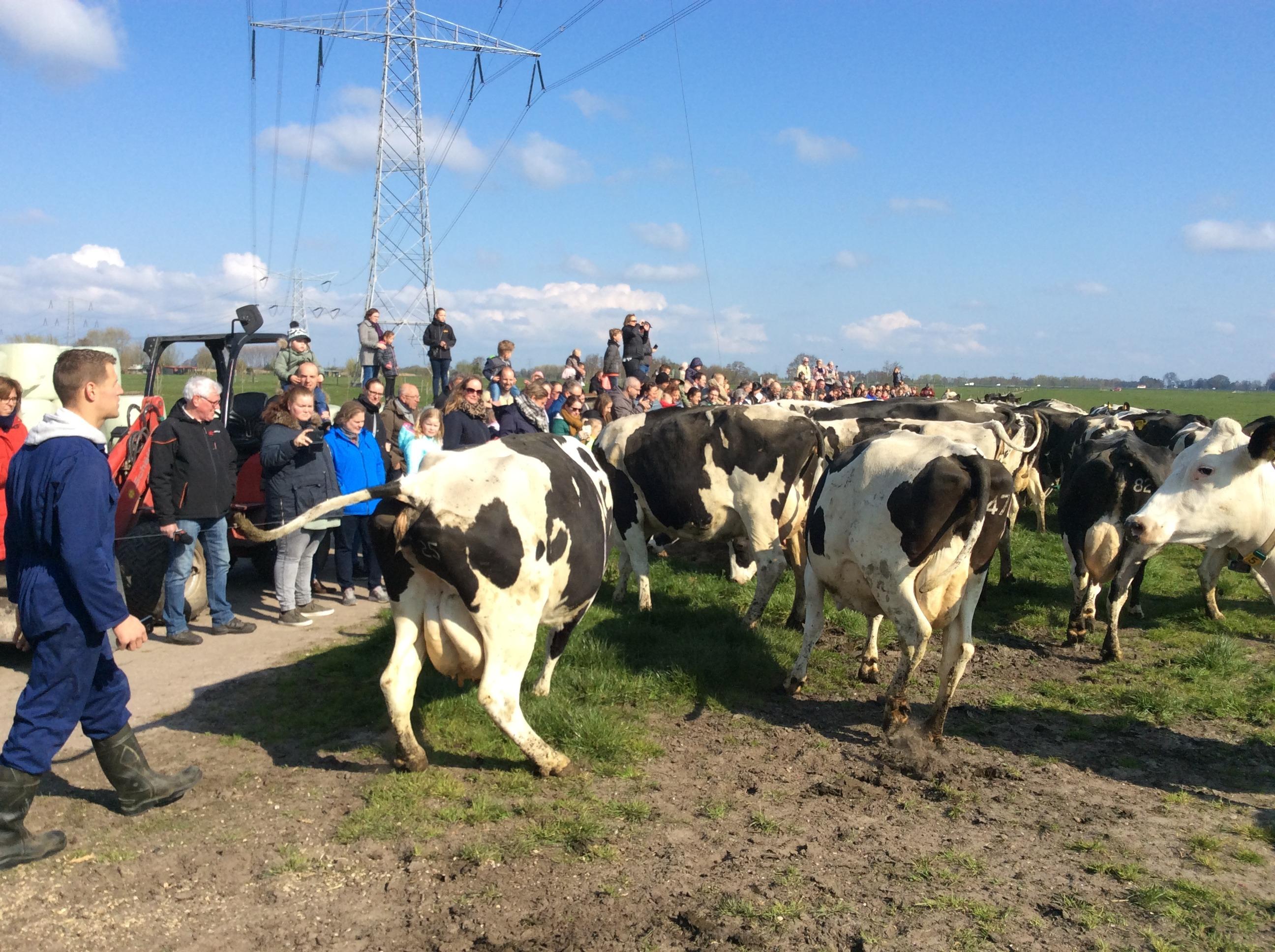 In beeld: koeiendans bij Kaasboerderij Speksnijder