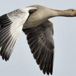 Beleef de vogeltrek in de Krimpenerwaard