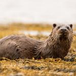 Lezing over de otter in de Krimpenerwaard