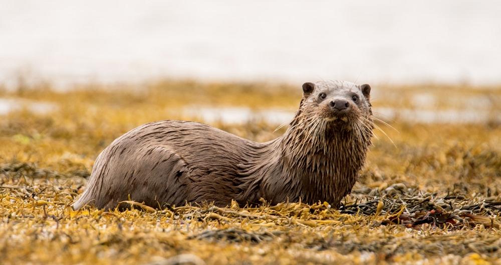 Lezing over de otter in de Krimpenerwaard 🗓
