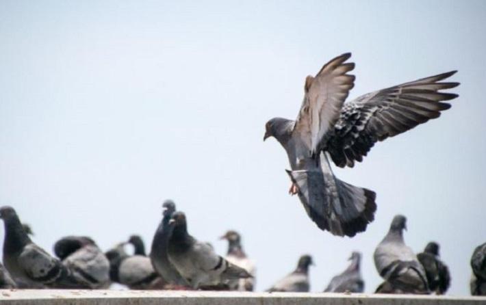 Doorbraak dossier duivenoverlast: gemeente gaat handhaven