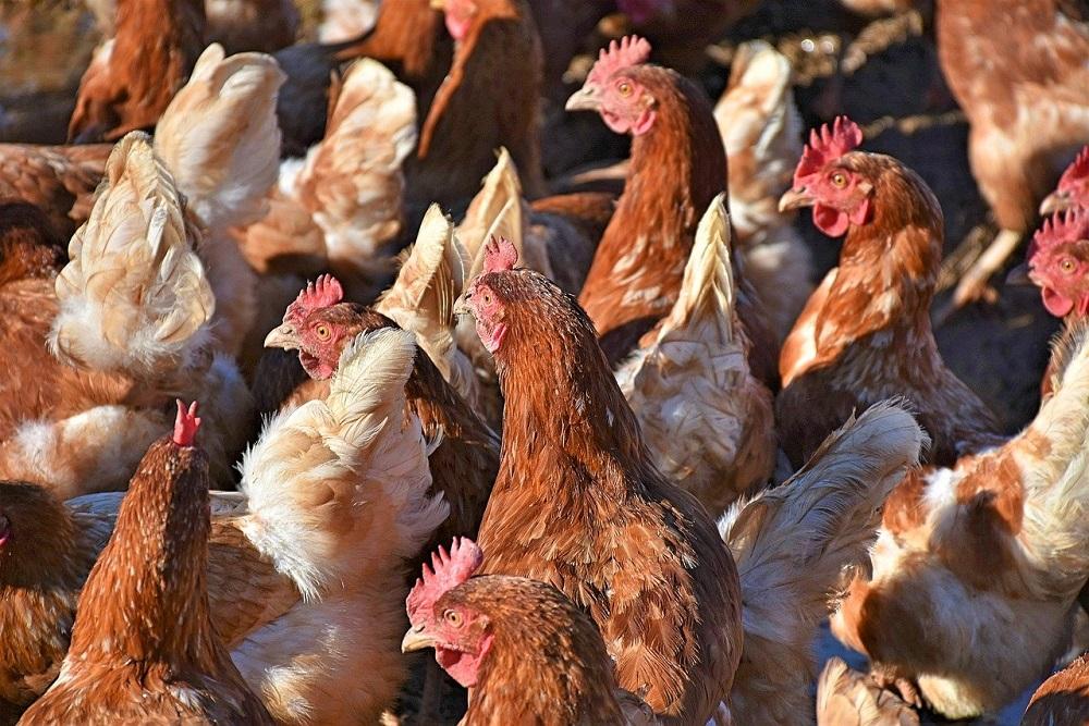 Vervoersverbod voor pluimveebedrijven in de Krimpenerwaard