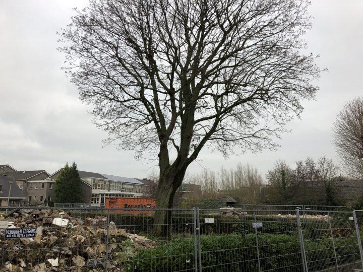 Beeldbepalende bomen Burgemeester Uilkensstraat mogelijk gekapt