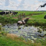 Brandweer redt koe uit Gouderakse sloot